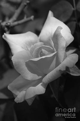 Photograph - Lovely Rose by Tannis  Baldwin