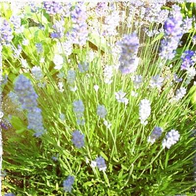 Lavender Photograph - Lovely Smell #lavender by Phill Burrows