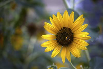 Beautiful Photograph - Lovely Sunflower by Samir Mustafic