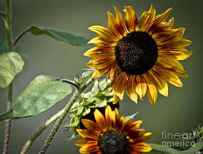 Photograph - Lovely Sunflowers by Cheryl Baxter