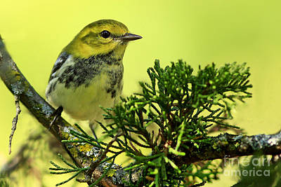 Lovely Warbler On A Summers Day Art Print by Inspired Nature Photography Fine Art Photography