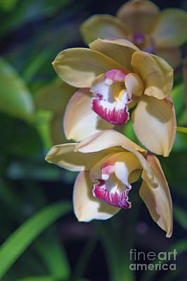 Photograph - Lovely Yellow Pink Orchid  by David Zanzinger
