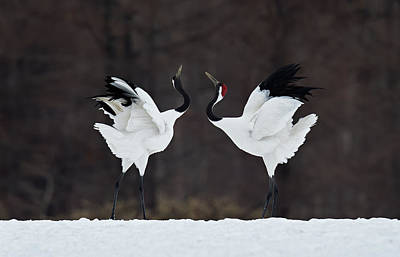 Cranes Photograph - Lovers by C.s. Tjandra