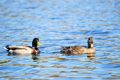 Crystal Wightman Rights Managed Images - Male and Female Ducks Royalty-Free Image by Crystal Wightman