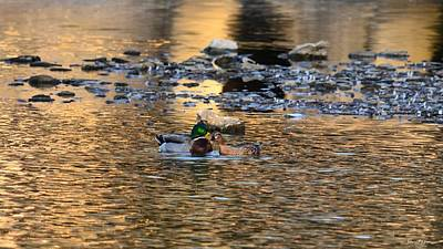 Photograph - Lover's Swim For Mallards by Maria Urso