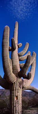 Low Angle View Of A Saguaro Cactus Art Print by Panoramic Images