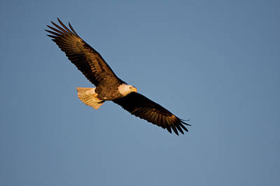 Eagle Photograph - Low Angle View Of Bald Eagle Haliaeetus by Panoramic Images
