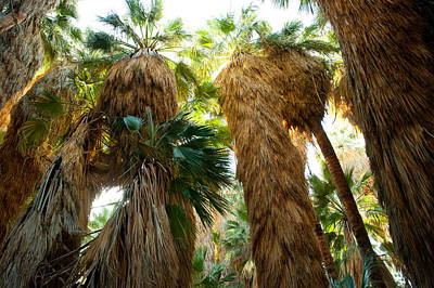 Palm Springs Photograph - Low Angle View Of Palm Trees, Palm by Panoramic Images