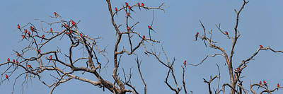Of Birds Photograph - Low Angle View Of Southern Carmine by Panoramic Images