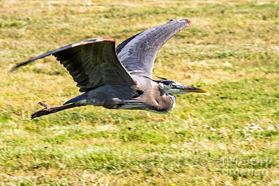 Photograph - Low Flying Great Blue by Kate Brown