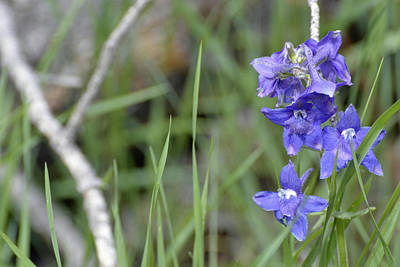 Low Larkspur In Yellowstone National Park Art Print by Bruce Gourley