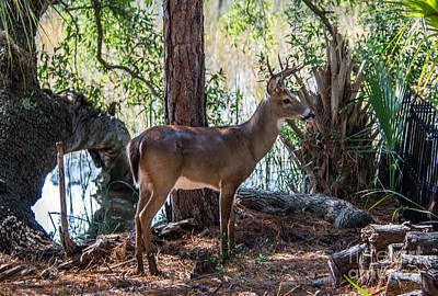 Photograph - Lowcountry Deer  by Dale Powell