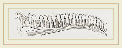 Iguana Drawing - Lower Jaw Of Iguana by Litz Collection