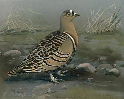 Ethiopia Painting - Lowe's Sand Grouse by Rob Dreyer