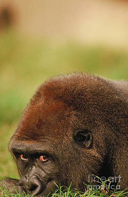 Photograph - Lowland Gorilla by Mark Newman