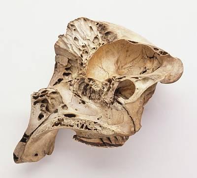 Loxodonta Africana African Elephant Skull Art Print