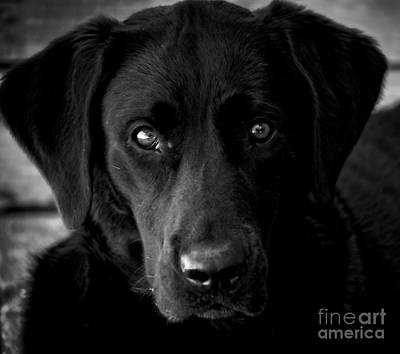 Photograph - Loyalty Black Lab by Peggy Franz