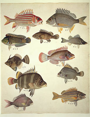 Ls Plate 122: John Reeves Collection Art Print by Natural History Museum, London