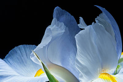 Photograph - Lt Blue Iris 2013 by Art Barker