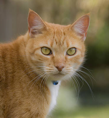 Orange Tabby Photograph - Luci Lu Too by Rich Franco