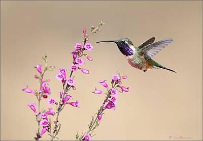 Photograph - Lucifer Hummingbird by Daniel Behm