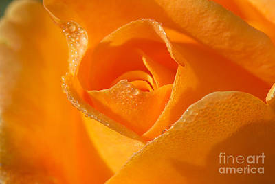Photograph - Lucille's Rose by David Lee