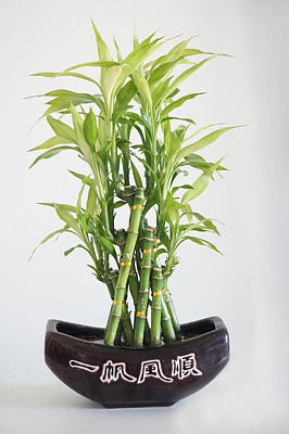 Bamboo Photograph - Lucky Bamboo Plant by Art Spectrum