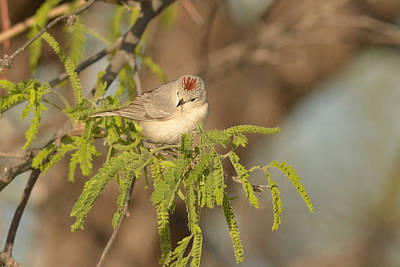 Photograph - Lucy's Warbler by Alan Lenk