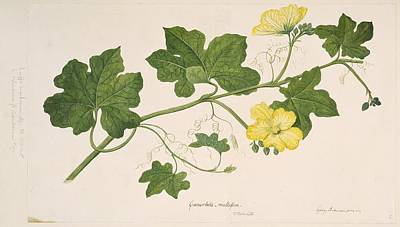 Luffa Cylindrica, 1769 Art Print by Science Photo Library