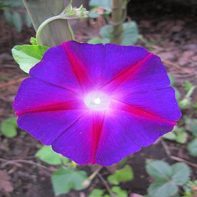 Flowers Photograph - Luminous Morning Glory In Purple Shines On You by Rosita Larsson