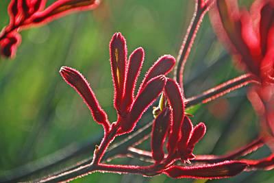 Photograph - Luminous Red Kangaroo Paw by Ankya Klay