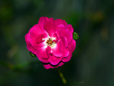 Photograph - Luminous Rose by Connie Fox