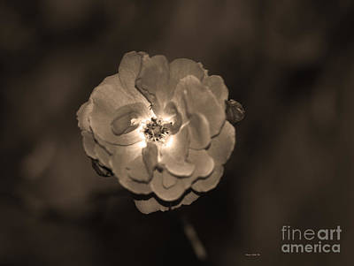 Photograph - Luminous Rose In Sepia by Connie Fox