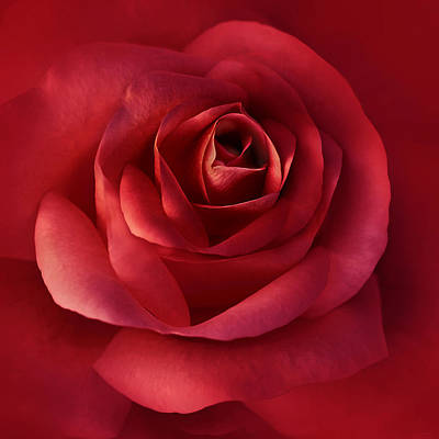 Photograph - Luminous Scarlet Rose Flower by Jennie Marie Schell