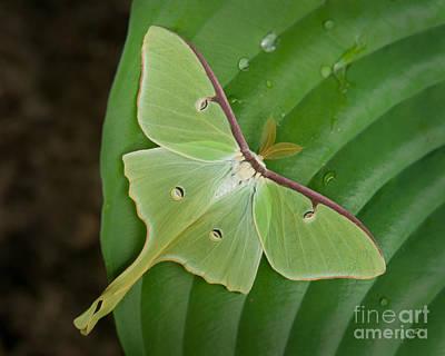 Photograph - Luna Moth by Alana Ranney