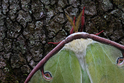 Photograph - Luna Moth Detail by Daniel Reed