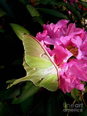 Photograph - Luna Moth by Janine Riley