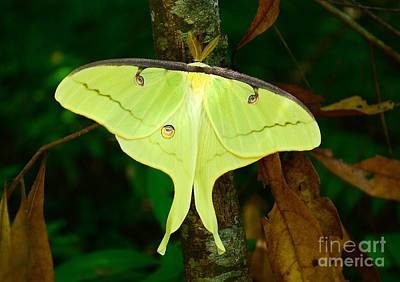 Photograph - Luna Moth by Kathy Baccari