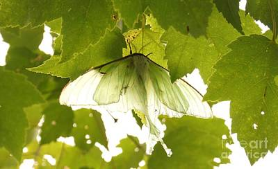 Photograph - Luna Moth by Kerri Mortenson