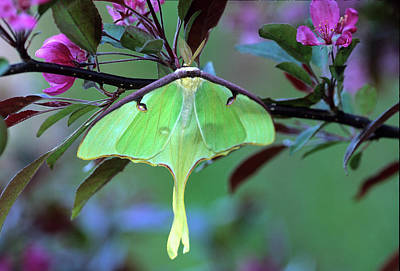 Luna Photograph - Luna Moth On Cherry Tree In Spring by Jaynes Gallery