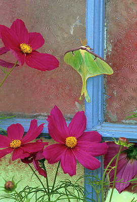 Luna Moth On Old Window With Cosmos Art Print by Jaynes Gallery