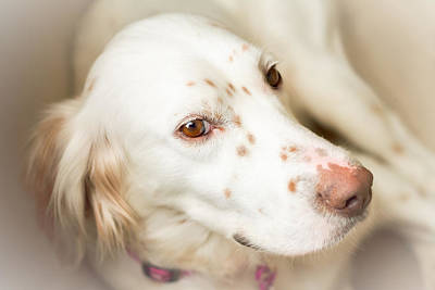 Photograph - Luna The English Setter by Brian Caldwell