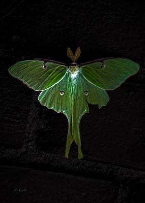 Photograph - Lunar Moth by Bob Orsillo