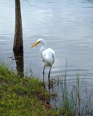 Photograph - Lunch For A White Heron by Bob Sample