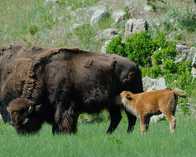 Photograph - Lunch For Buffalo Calf by Dakota Light Photography By Dakota