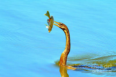 Anhinga Wall Art - Photograph - Lunch On The Spear by Deborah Benoit