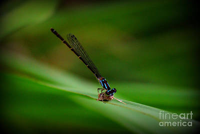 Photograph - Predator Lunch Time Damsel  by Reid Callaway