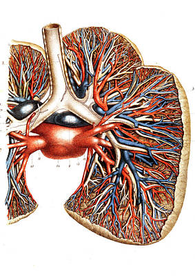 Airways Photograph - Lung Blood Supply by Collection Abecasis