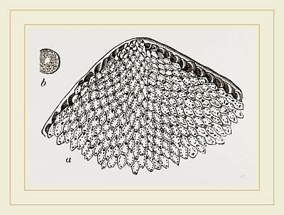 Biological Drawing - Lunulite En Parasol by Litz Collection