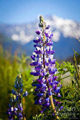 Photograph - Lupin by Chris Heitstuman